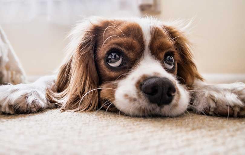 Cómo educar al perro. Bases de la educación canina