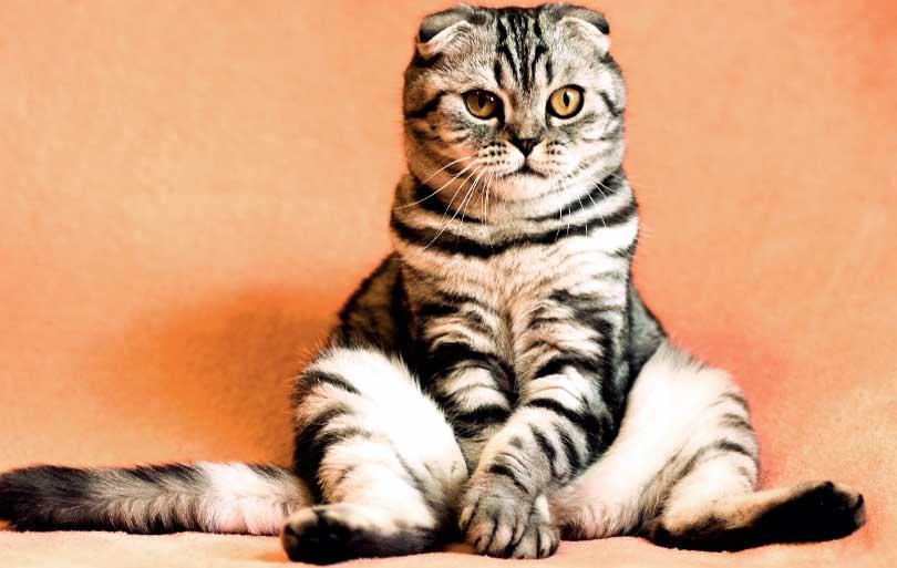 La obesidad en gatos y su atención en la clínica