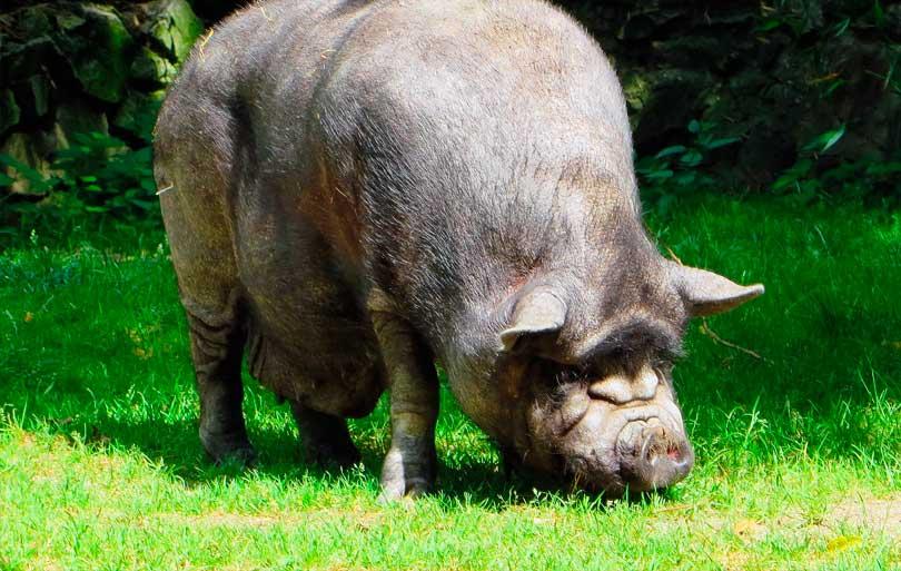 NAC cerdo vietnamita